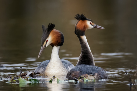 monogamous: A pair of Great Crested Grebes (Podiceps cristatus) in a courtship display. Stock Photo