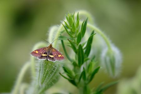 aurata: Mint Moth Pyrausta aurata on a Borage plant.