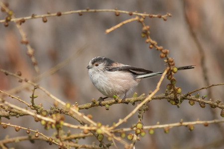 chiming: Long-tailed Tit Aegithalos caudatus perched in a bush.