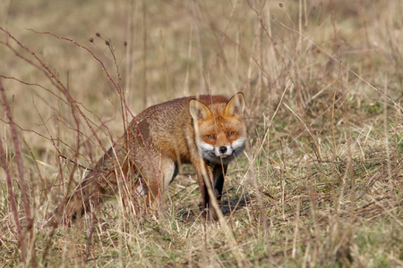 sneaking: Red Fox Vulpes vulpes sneaking around out on a marshland bank.