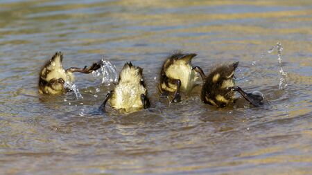 submerging: Mallard ducklings Anas platyrhynchos diving for vegetation to eat. Stock Photo