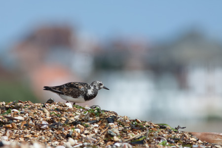 foraging: Ruddy Turnstone Arenaria interpres foraging on a pebbled beach at the seaside.