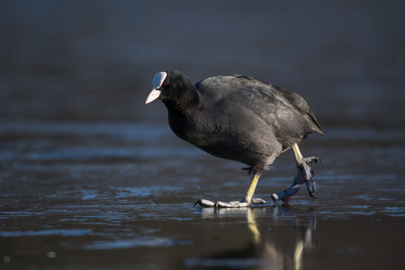 fulica: Eurasian coot Fulica atra walking across a frozen lake.