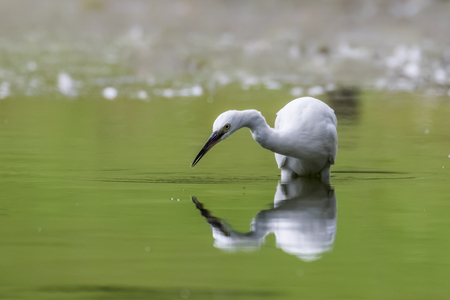 attacker: A Little Egret  Egretta garzetta fishes in the shallow water of a lake.