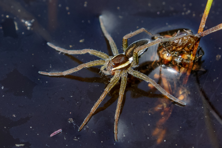 eight legged: Young Raft Spider Dolomedes fimbriatus sitting on the surface of a pond, seemingly waiting for prey.