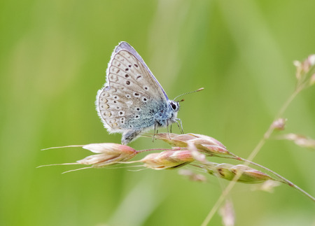 polyommatus: Male Common Blue butterfly Polyommatus icarus perched on a grass stem.