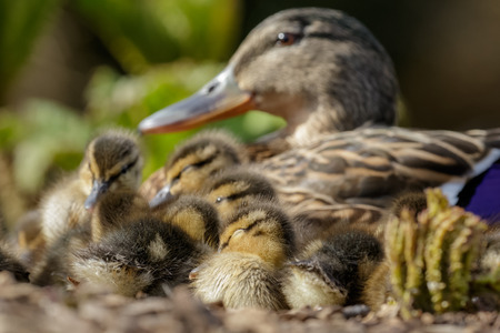 bunched: Mallard Ducklings Anas platyrhynchos resting in a huddle under the watchful eye of Mum. Stock Photo