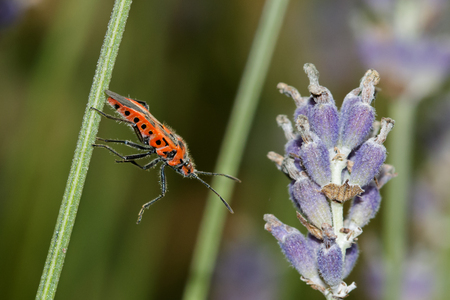 squash bug: Cinnamon Bug Corizus hyoscyami stretching across to a lavender stem.
