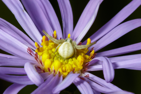 flower  crab  spider: A Crab Spider Misumena vatia laying in wait on a Purple Aster flower for an unsuspecting bee or fly.