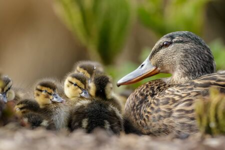 watchful: Mallard Ducklings Anas platyrhynchos resting in a huddle under the watchful eye of Mum. Stock Photo