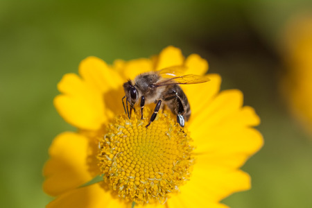 mellifera: European Honey Bee Apis mellifera drinking nectar from a yellow daisy.