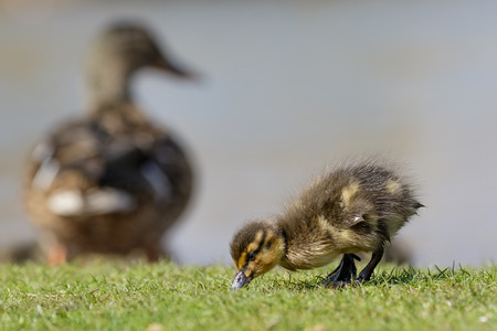 anas platyrhynchos: Mallard Duckling Anas platyrhynchos grazing while mum watches over them. Stock Photo