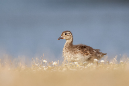 anas platyrhynchos: Mallard Duckling Anas platyrhynchos walking in front of a lake in dried grass. Stock Photo