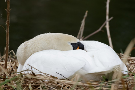 monogamous: Mute Swan Cynus olor incubating eggs on the nest. Stock Photo