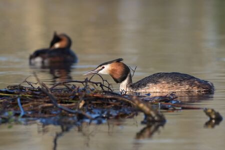 monogamous: Pair of Great crested grebes  Podiceps cristatus around the nest site.