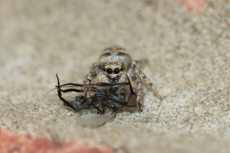 eight legged: Zebra spider (Salticus scenicus) sucking the life out of its Housefly prey.