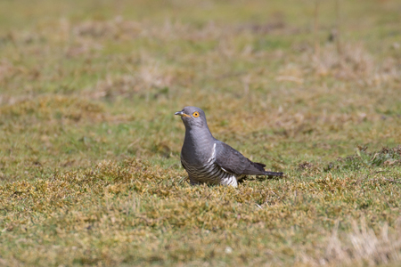 Male Common cuckoo (Cuculus canorus) foraging in a field.