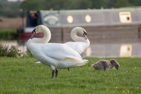 cygnus olor: Mute swan (Cygnus olor) family grazing by the river in the evening. Stock Photo