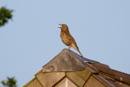 turdus: Song Thrush (Turdus philomelos) singing from a shed roof. Stock Photo