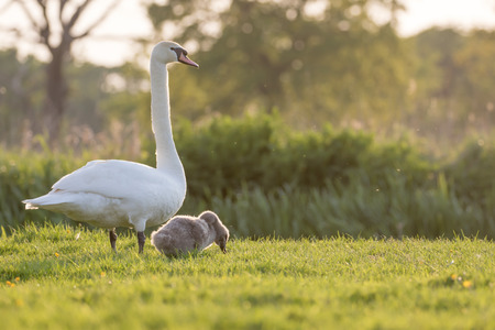 monogamous: Mute swan (Cygnus olor) mum and cygnet grazing by the river in the late evening.