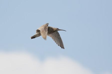 exhibiting: Eurasian curlew (Numenius arquata) calling and displaying in flight.