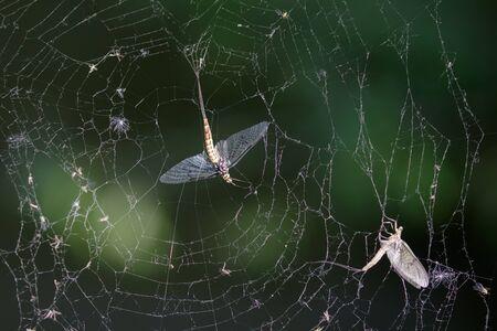 ephemera: Dead Mayflies (Ephemera vulgata) caught in a damaged spiders web.