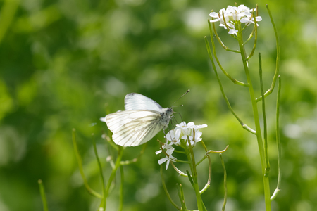 pieris: Green-veined white butterfly (Pieris napi) feeding on nectar of a white flower. Stock Photo