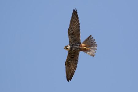 falco: Hobby (Falco subbuteo) in flight against a blue sky.