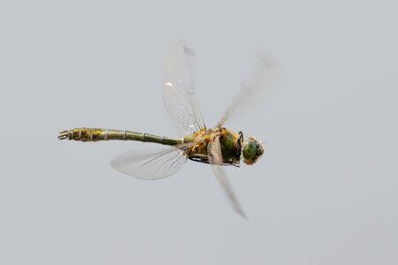 downy: Downy Emerald dragonfly (Cordulia aenea) in flight.