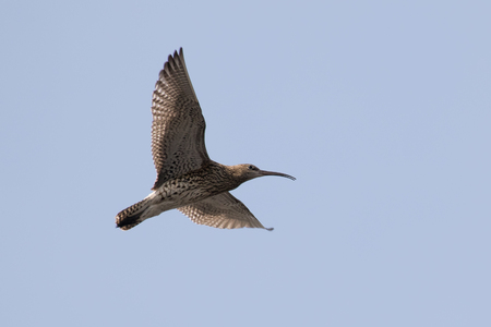 displaying: Eurasian curlew (Numenius arquata)  calling and displaying in flight. Stock Photo
