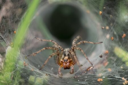 arachnid: Labyrinth or Funnel-web Spider (Agelena labyrinthica) Stock Photo