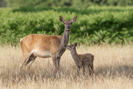 elaphus: Red Deer (Cervus elaphus) mother and calf keeping close together. Stock Photo