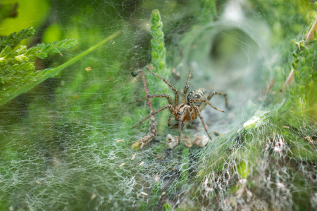 retreat: Labyrinth Spider (Agelena labyrinthica) in its web, showing retreat behind it. Stock Photo