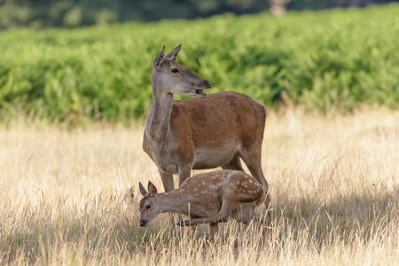 Red Deer (Cervus elaphus) mother and calf having a scratch.