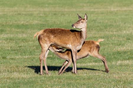 Red Deer calf (Cervus elaphus) suckling from mother. Stock Photo