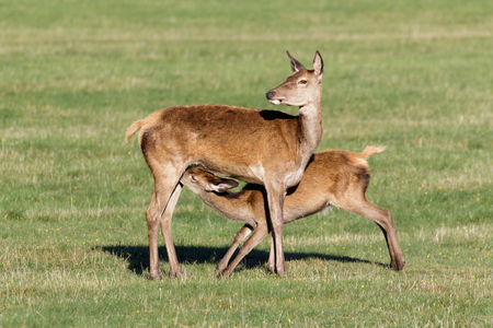 mother and baby deer: Red Deer calf (Cervus elaphus) suckling from mother. Stock Photo