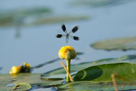 남성 줄무늬 Demoiselle damselfly (Calopteryx splendens) lilypad 강 위에 표시
