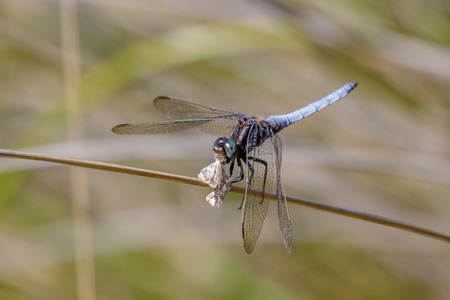 Male Keeled Skimmer dragonfly(Orthetrum coerulescens) feeding on a moth