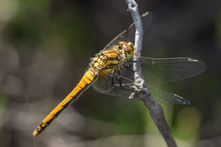 libellulidae: Female Black Darter dragonfly (Sympetrum danae) perched on a twig Stock Photo