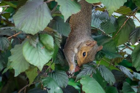 Female Grey Squirrel (Sciurus carolinensis) feeding on Hazelnuts. Upside-down