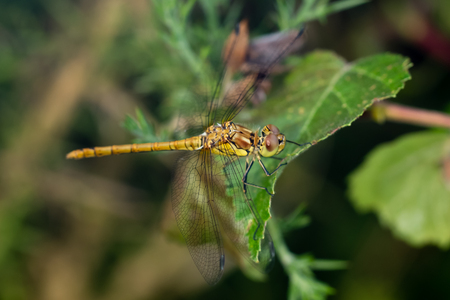 Immature Male Common Darter dragonfly (Sympetrum striolatum) perched on a leaf