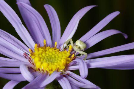 flower  crab  spider: Crab Spider (Misumena vatia) waiting for prey on Purple Aster flower
