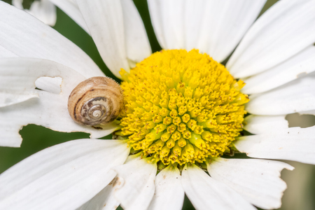 partially: Snail on a partially eaten and damaged  white daisy flower