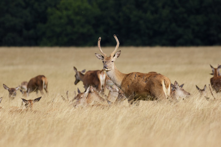 herd of deer: Young Red Deer stag (Cervus elaphus) with herd behind in long grass