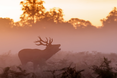 exerting: Moody silhouette of Red Deer stag (Cervus elaphus)  bugling on a misty morning Stock Photo
