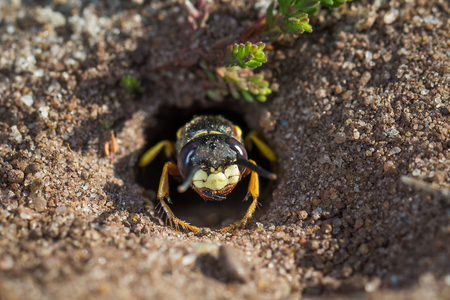 triangulum: European Beewolf wasp (Philanthus triangulum) exiting  its egg-laying  burrow or chamber