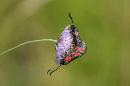 zygaena: Six-spot Burnet moths (Zygaena filipendulae)  mating on Small Scabious (Scabiosa columbaria) flower.
