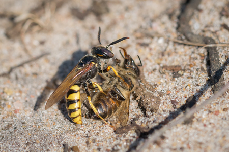 European Beewolf wasp (Philanthus triangulum) with Honey Bee (Apis mellifera) prey. Used to feed her larvae when they hatch in an underground burrow.