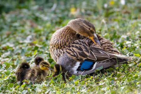 Mallard ducklings (Anas platyrhynchos) huddled together with female adult parent mum