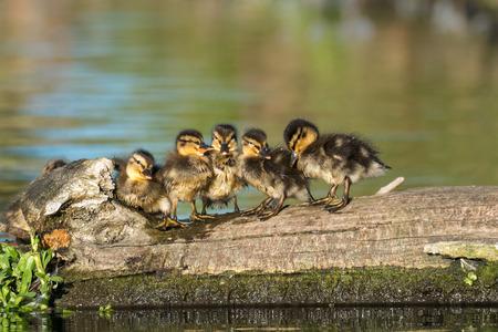 Mallard ducklings (Anas platyrhynchos) family lined up on a log in golden light